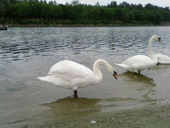 twee, zwanen, lake