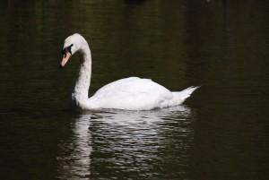 Witte Zwaan, vogel, cygnus olor