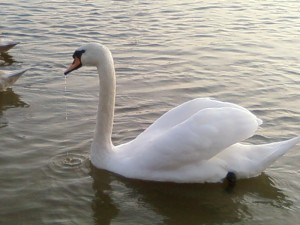 white swan, up-close, picture