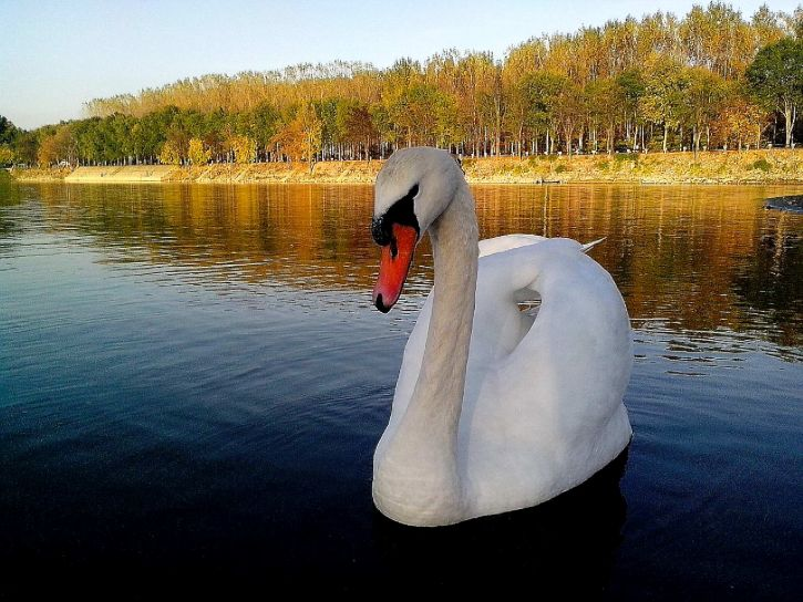 white, swan, floats, proudly