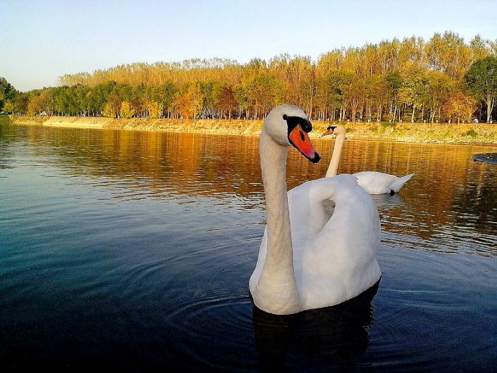 white, swan, swims