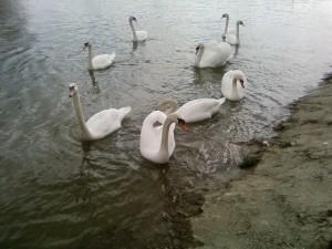 cygnes blancs, défilé, lac, rivière, Danube