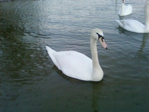 young, white swan, river