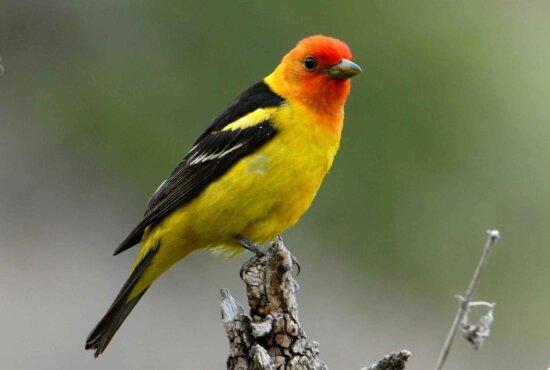 Thraupidae vogels