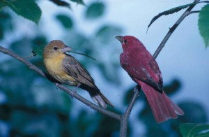 pair, summer, tanagers, birds, perch, closely, piranga, rubra