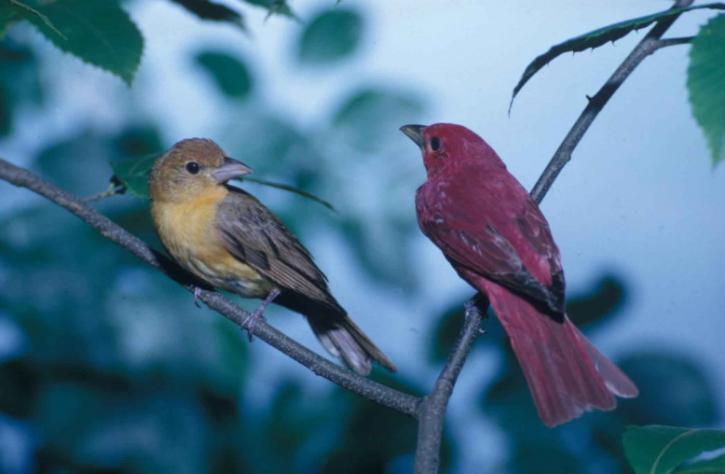 par, verano, fruteros, pájaros, perca, de cerca, piranga, rubra