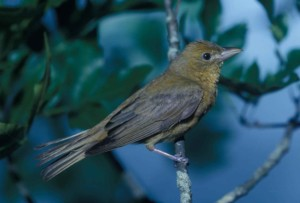 summer, tanager, bird, perching, tree, branch, piraga rubra