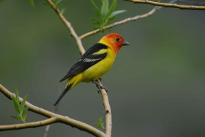 male, western, tanager, branch, close