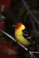 profile, male, western, tanager, bird, branch