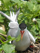 Common tern, vogel, bewakers, nest, sterna hirundo