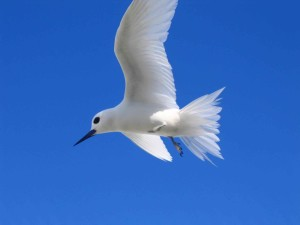 curious, white tern, bird, gygis, alba, hovers, overhead