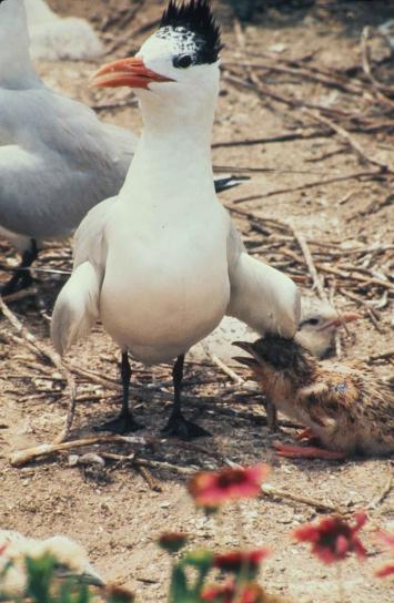 royal, tern, young