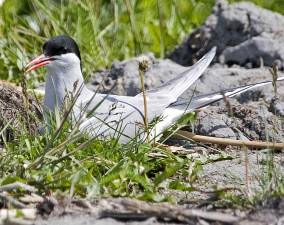 Arctic, tern, bird, nest, details, close