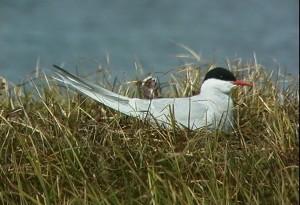 Arctic, tern, nest