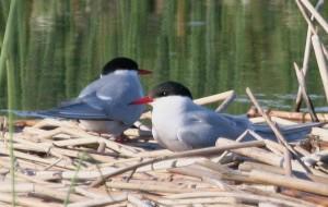 Arctic, terns, birds