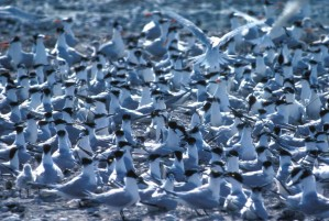 big, flock, tern, birds, ground
