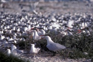 caspian, terns, birds, colony