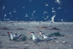 caspian, terns, birds, chandaleur, island