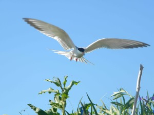 common, tern, flight, sterna, hirundo