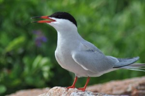 common, tern, portrait, bird