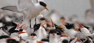 elegant, terns, flock