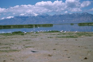 group, caspian, terns, waterside
