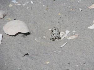 co najmniej, rybitwy, jaja, plaża, piasek, sternula antillarum