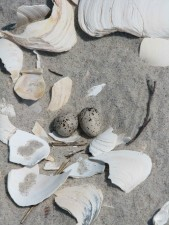 least, tern, eggs, sternula, antillarum, sterna, antillarum