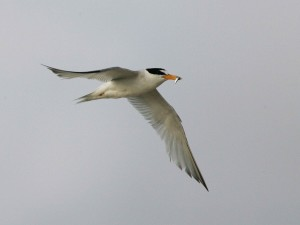 least, tern, flying, fish, mouth