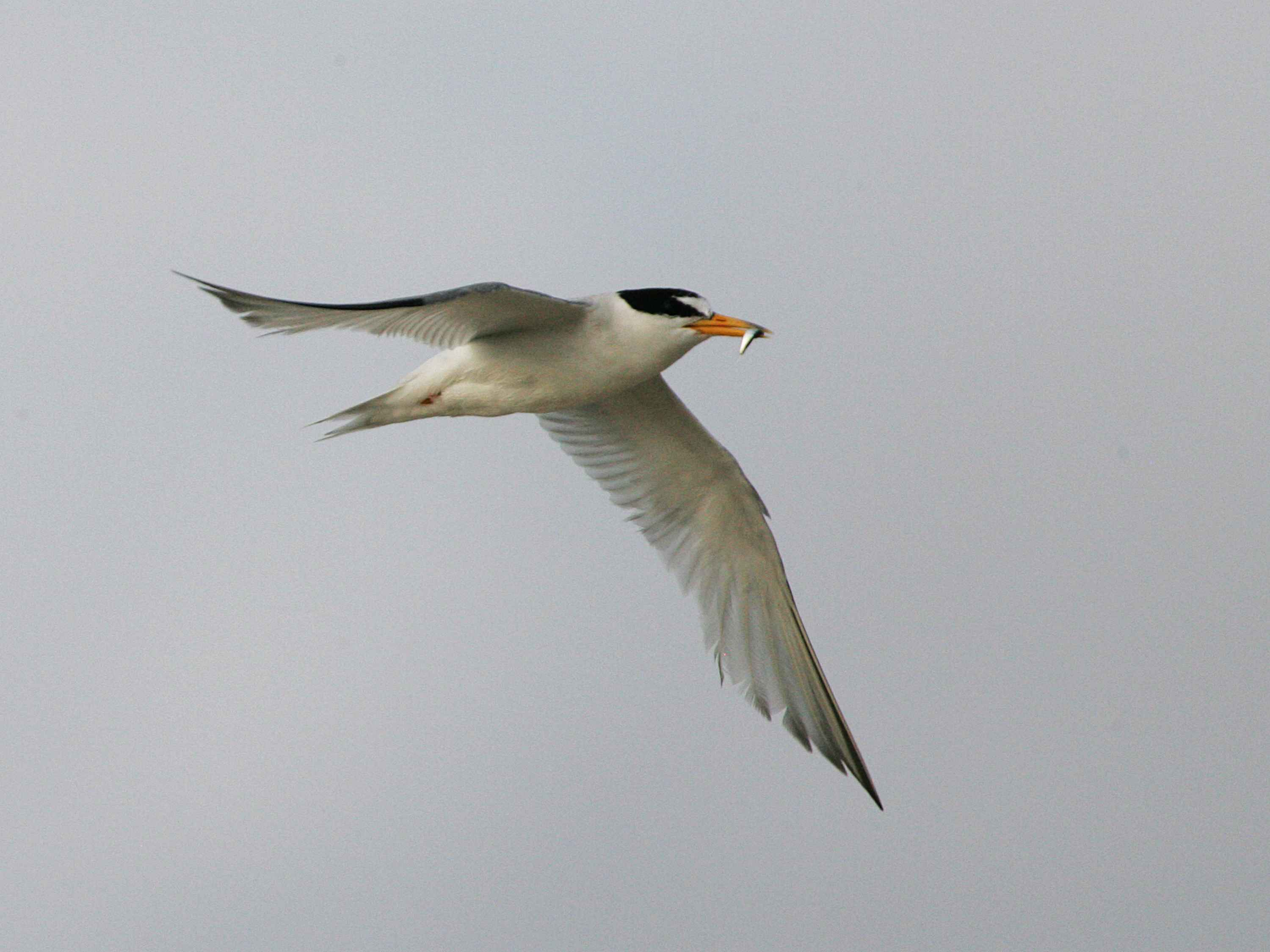 free picture least tern flying fish mouth