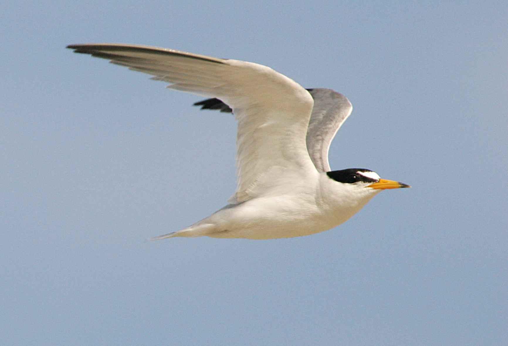 free picture least tern flight bird sterna antillarum