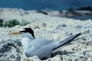 least, tern, sitting, rocks