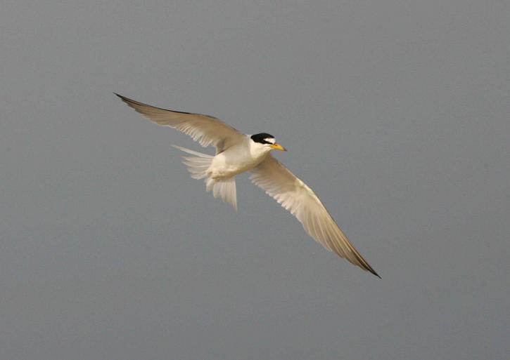 least, tern, soars, air