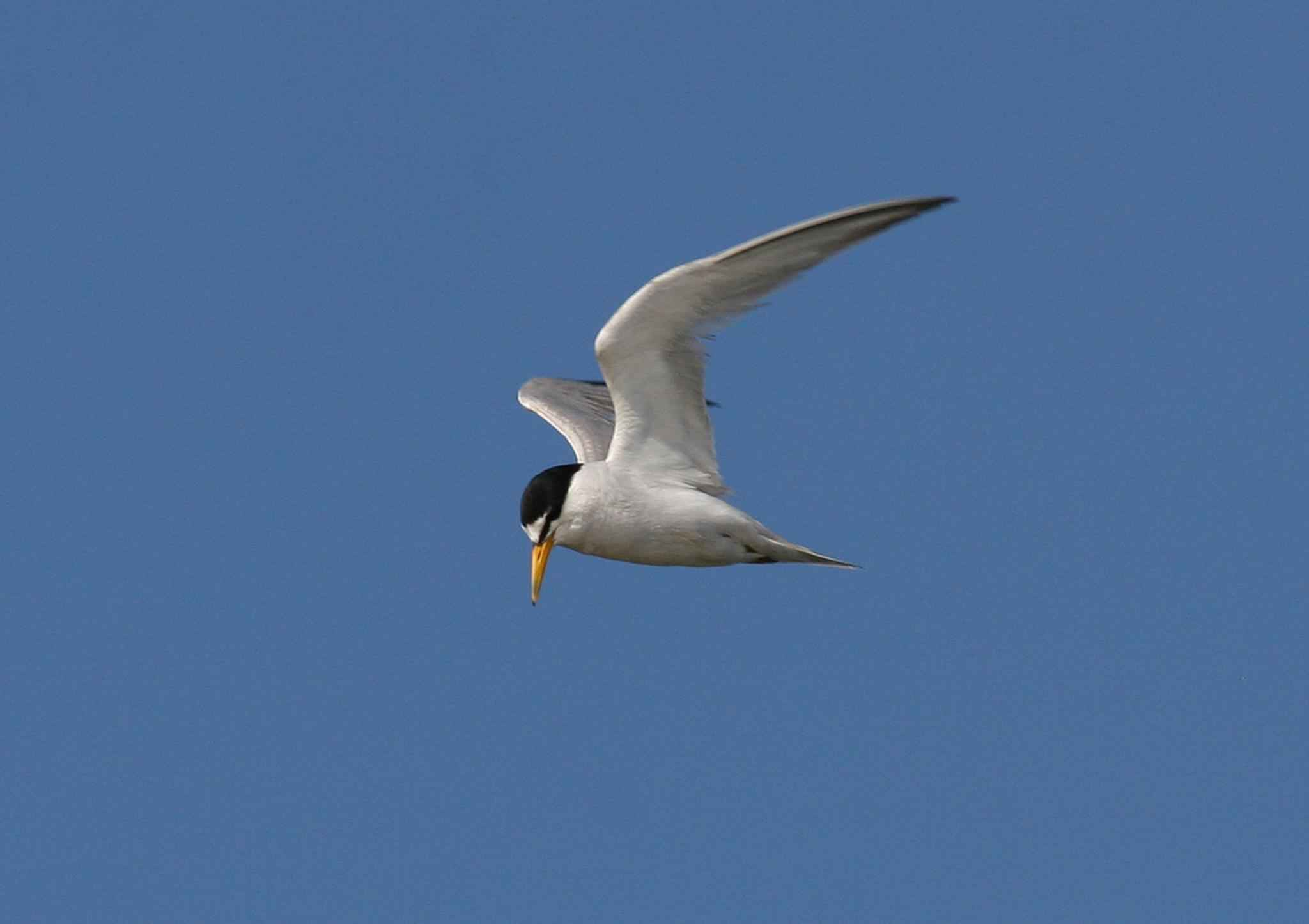 least tern free images public domain images