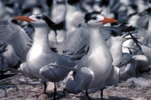 marine, birds, royal, terns