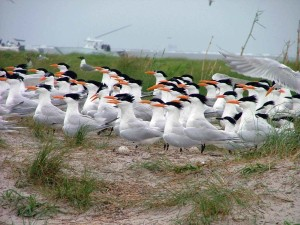 nesting, zone, shorebirds, royal, terns