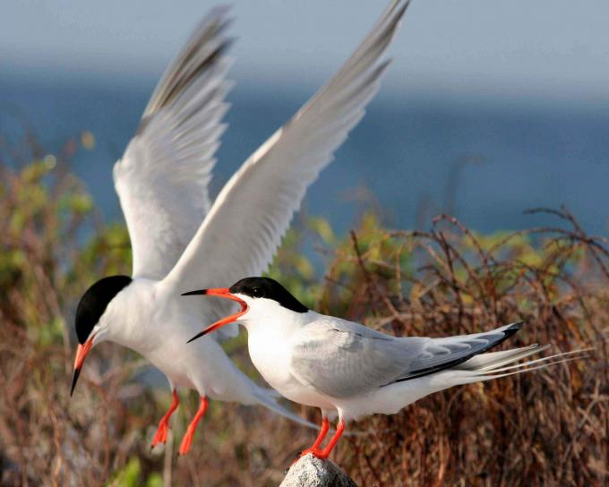 caribbean, roseate, terns, one, standing, rock, wings