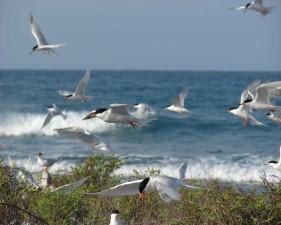 caribbean, roseates, birds, roseate, terns, standing, rocks