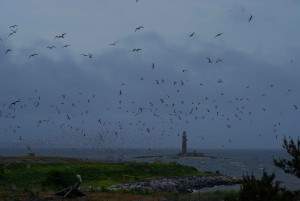 flock, roseate, tern, birds, flight
