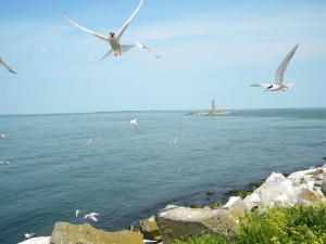 roseate, terns, flight