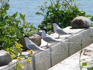 roseate, Seeschwalben, künstlich, Terrasse