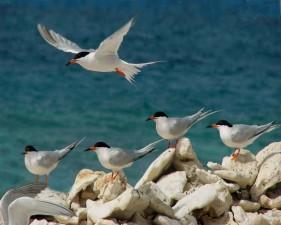 roseate, terns, standing, rocks