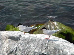 two, roseate, terns, rock
