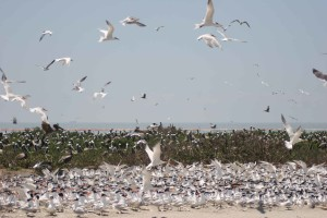 royal, terns, brown, pelicans