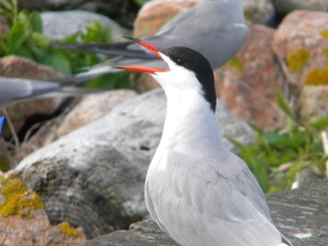 sterna, hirundo, oiseaux