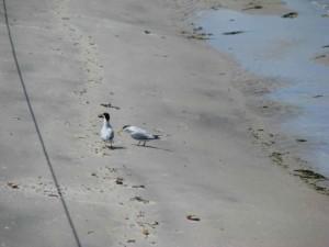 sterna, hirundo, bird, beach