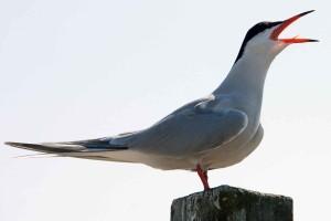 Sterna hirundo, rybitwy, ptak, śpiewać