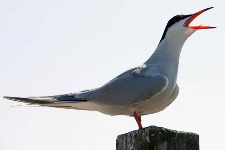sterna, hirundo, tern, bird, sing