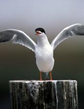 Sterna hirundo, tern, fugl, åben, vinger