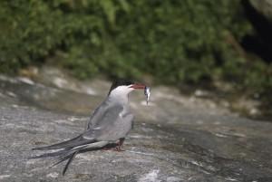 Trinta-réis-, pássaro, peixe